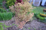 Acer palmatum 'Butterfly' Japanese Maple