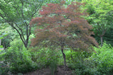 Acer palmatum 'Lionheart' Japanese Maple