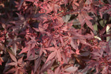 Acer palmatum 'Hime shojo' Dwarf Red Japanese Maple