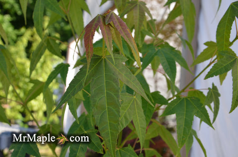 Acer elegantulum Rare Elegant Chinese Maple Tree