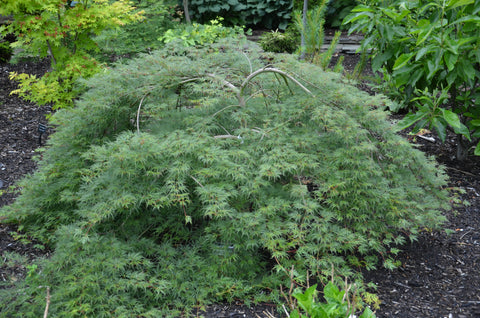 Acer palmatum 'Emerald Lace' Japanese Maple