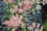 Acer palmatum 'Cotton Candy' Pink Variegated Japanese Maple