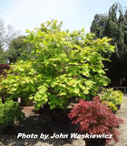Acer japonicum 'Wood's #2' Full Moon Japanese Maple