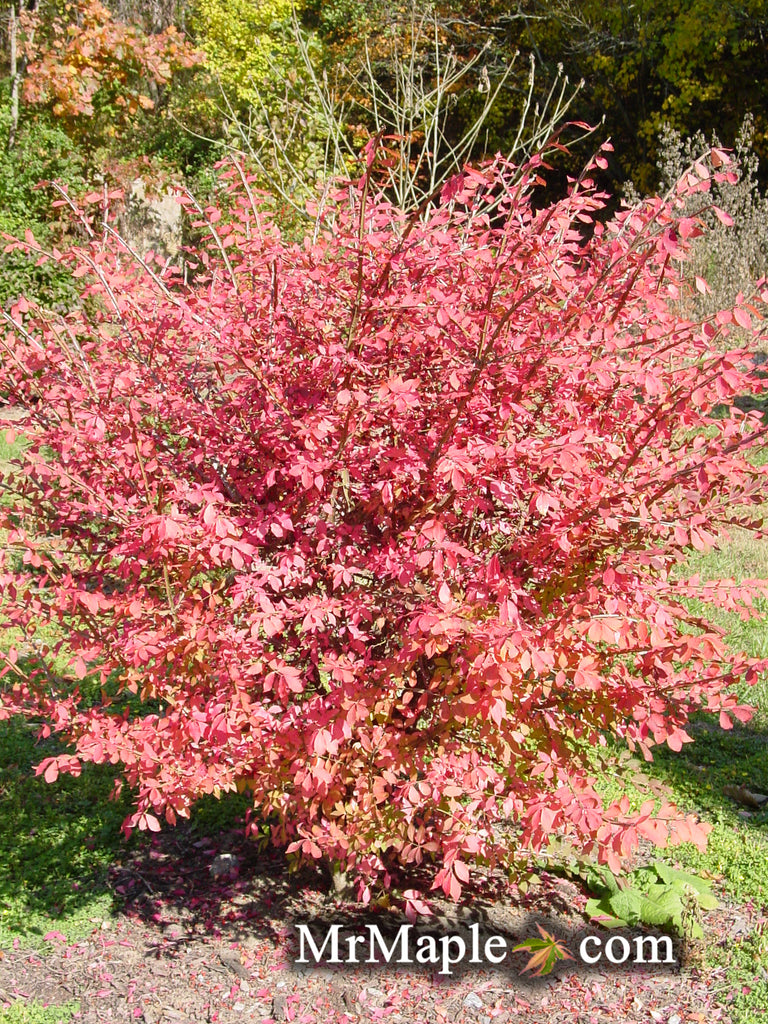 Buy Euonymus Alatus Compacta Dwarf Burning Bush Mr Maple Buy
