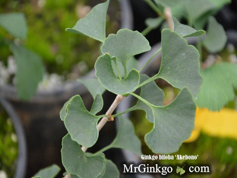 Ginkgo biloba 'Akebono' Narrow Male Ginkgo Tree