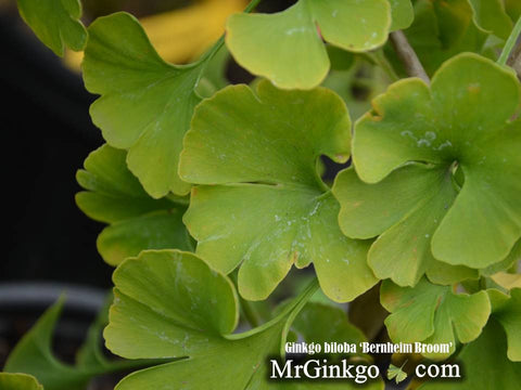 Ginkgo biloba 'Bernheim Broom' Dwarf Male Ginkgo Tree