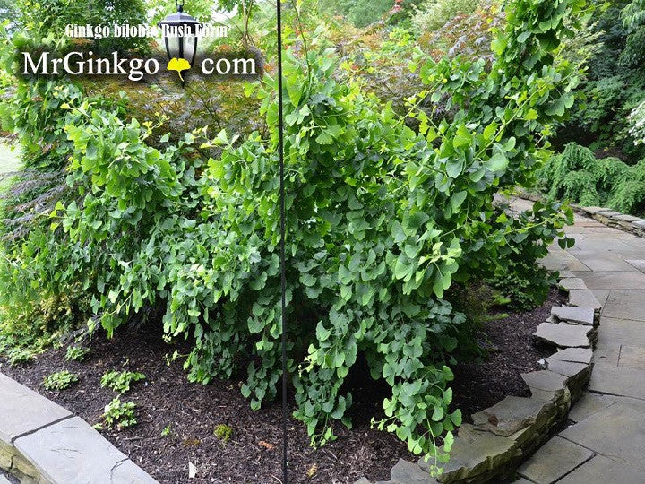 Buy Ginkgo Biloba Bush Form Dwarf Ginkgo Tree Mr Maple Buy