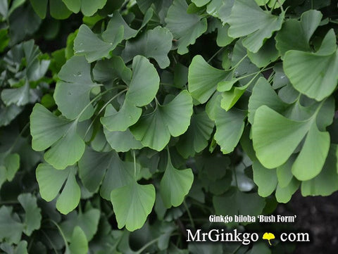 Buy Ginkgo biloba \'Bush Form\' Dwarf Ginkgo Tree – Mr Maple │ Buy ...