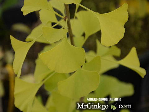 Ginkgo biloba 'Mayfield' Columnar Male Ginkgo Tree
