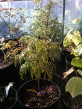 Acer japonicum X 'Gossamer' Dwarf Full Moon Japanese Maple