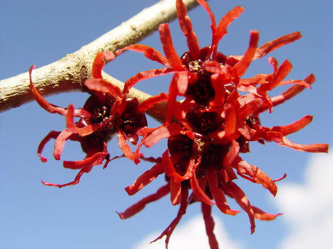 Hamamelis x intermedia 'Diane' Red Witch Hazel