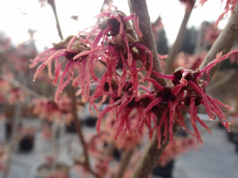 Hamamelis x intermedia 'Birgit'' Red Witch Hazel