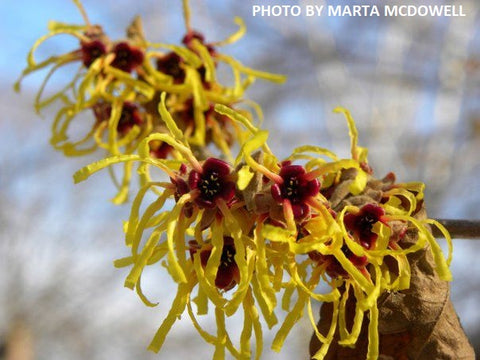Hamamelis x intermedia 'Arnold's Promise' Golden Witch Hazel