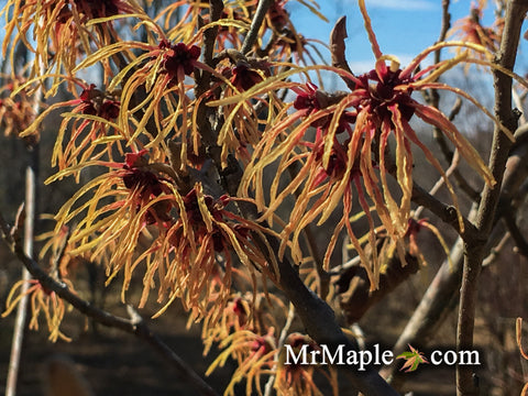 Hamamelis x intermedia 'Aurora' Large Flowering Bicolor Witch Hazel