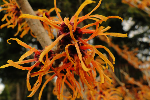 Hamamelis x intermedia 'Jelena' Orange Witch Hazel