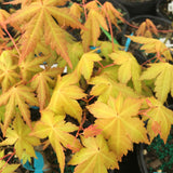 Acer palmatum 'Dragon Master' Golden Weeping Japanese Maple