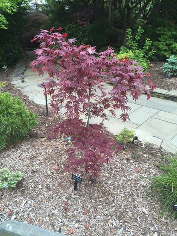 Acer palmatum 'Dragon Tears' Japanese Maple