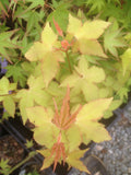 Acer oliverianum 'Hot Blonde' Golden Japanese Maple