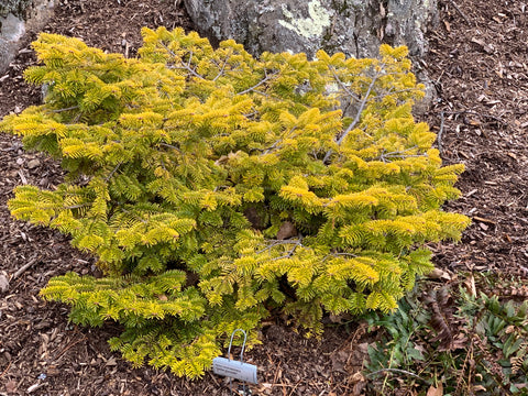 Abies nordmaniana 'Golden Spreader' Nordmann Fir