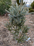 Abies koreana 'Horstmann's Silberlocke' Korean Fir Grafted on Abies firma