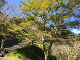 Acer palmatum ssp amoenum Wild Collected from Japan Yoshino Trail