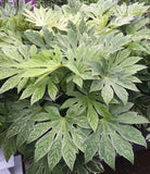 Fatsia japonica 'Spider's Web' Reticulated Variegated Japanese Aralia