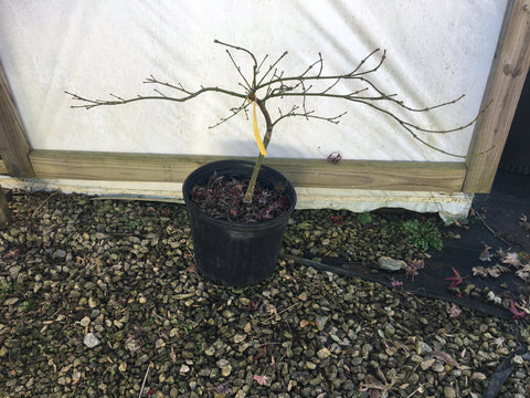 Acer palmatum 'Sunny Disposition' Weeping Japanese Maple