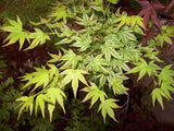 Acer palmatum 'Iro iro' Japanese Maple