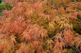 Acer palmatum 'Lemon Lime Lace' Japanese Maple