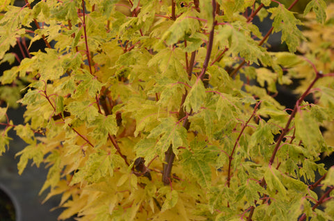 Acer palmatum 'Little Sango' Dwarf Coral Bark Japanese Maple