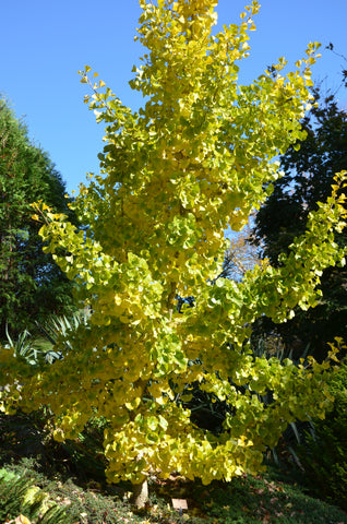 Buy Ginkgo Biloba Spring Grove Dwarf Ginkgo Tree Mr