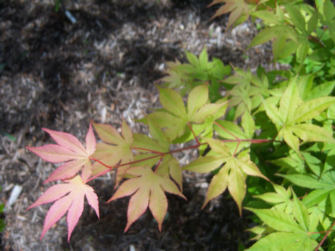 Acer palmatum 'Shadow Selection' Japanese Maple