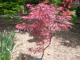 Acer palmatum 'Garnet Tower' Japanese Maple