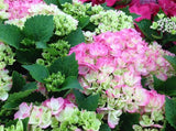 Hydrangea macrophylla 'Dancing Angel' Sweet Fantasy™ Variegated Bloom Hydrangea