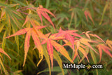 Acer palmatum 'Yellow Threads' Rare Japanese Maple