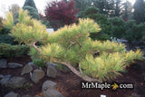 Pinus thunbergii 'Ogon' Golden Japanese Black Pine Tree
