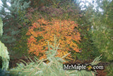 Acer palmatum 'Green Strap' Rare Japanese Maple