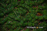 Abies koreana 'Green Carpet' Spreading Korean Fir