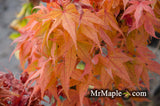 Acer palmatum 'Japanese Princess' Japanese Maple