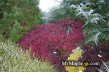 Acer palmatum 'Red Filigree Lace' Dwarf Japanese Maple