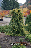 Picea abies 'Gold Drift' Weeping Golden Norway Spruce