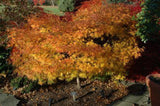 Acer palmatum 'Orion' Dwarf Red Japanese Maple