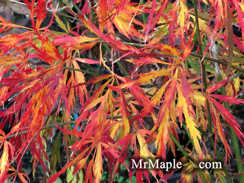 Buy Acer Palmatum Dissectum Liberty Bell Laceleaf Japanese Maple