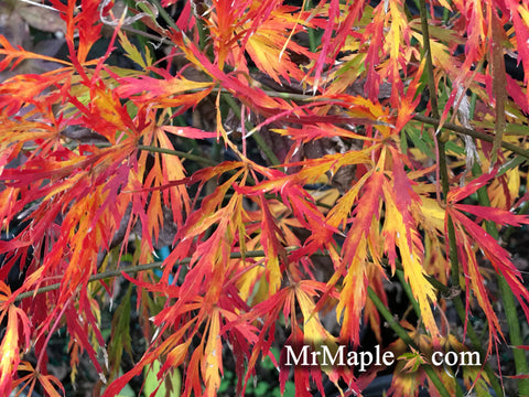 Acer palmatum 'Liberty Bell' Laceleaf Japanese Maple