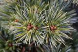 Pinus koraiensis 'Gee Broom' Dwarf Korean Pine Tree
