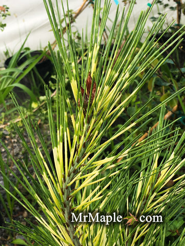 Pinus densiflora 'Oculus Draconis' Eye of the Dragon Variegated Japanese Red Pine