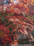 Acer palmatum 'Pung kil' Japanese Maple