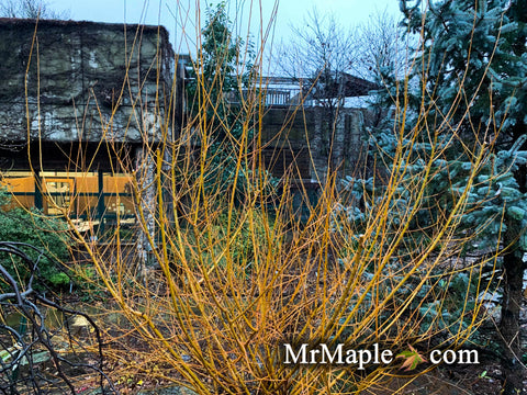 Salix 'Flame Yellow' Golden Bark Willow Tree