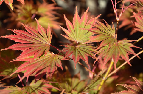 Acer shirasawanum 'Sensu' Full Moon Japanese Maple