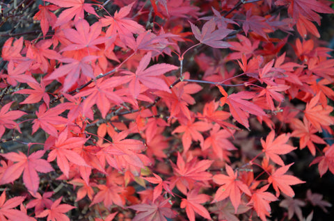 Acer palmatum 'Englishtown' Dwarf Red Japanese Maple